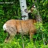 Mule Deer - doe