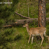 Whitetail Deer in Custer State Park - SD
