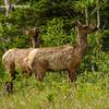 Elk along Alaska Hwy west of Whitehorse, YK - male  & female