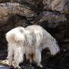 Mountain Goat on Mount Rushmore Road