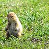 Prairie Dog in Custer State Park - SD