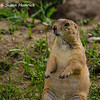 Prairie Dog in Custer State Park - SD