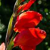 Gladiolus, Fernwood Botanical  Gardens