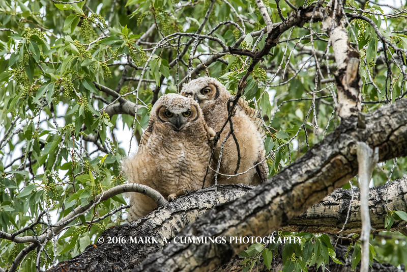 GREAT HORNED OWLET TWINS