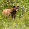 GLACIER NATIONAL PARK BROWN BEAR