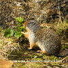 HEARTY GROUND SQUIRREL