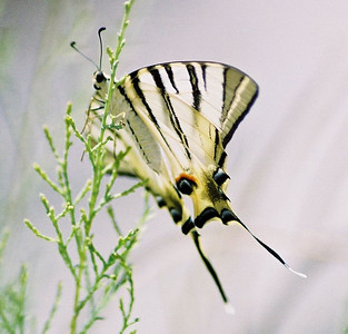 IRANIAN SWALLOWTAIL Zagros Mountains, Iran