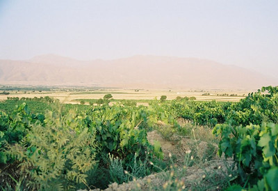 VINEYARD AND WHEAT FIELDS Iran