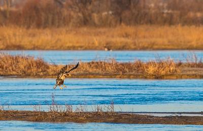 IMMATURE BALD EAGLE ON THE PLATTE RIVER