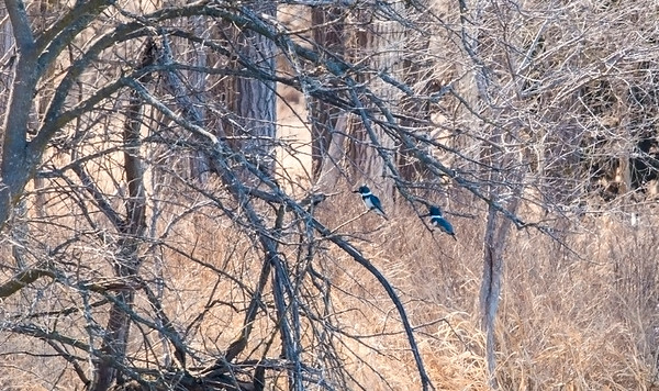 BELTED KINGFISHER PAIR ON THE PLATTE RIVER