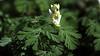 Dutchman's Breeches • Dicentra cucullaria - Tennessee