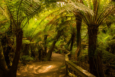 TREE FERNS, AUSTRALIA