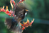 Tui, Northland, NZ