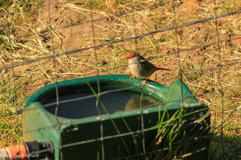 Red-browed finch, Kangaroo Island, SA