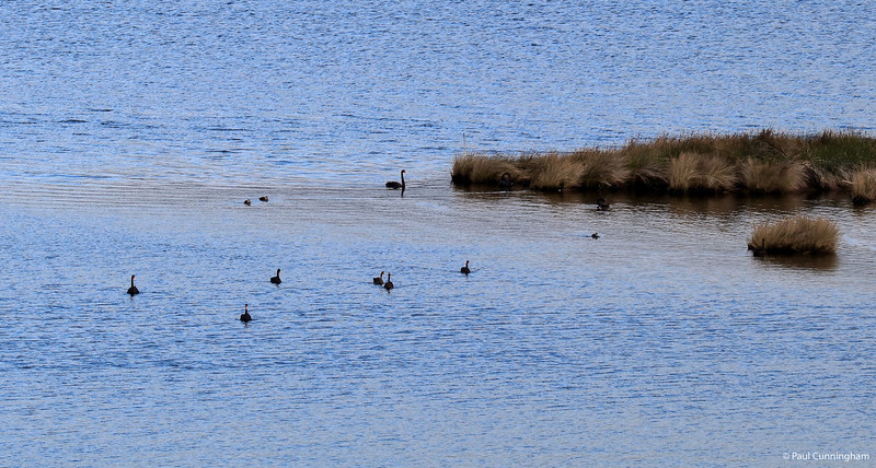 Black Swans on the Huon River at Glaziers Bay, Tasmania