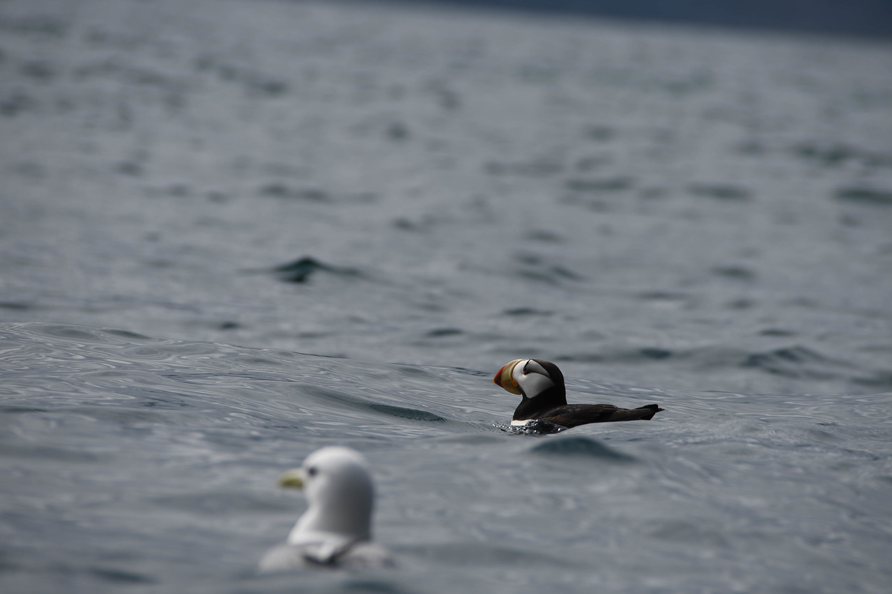 PUFFIN  (From a Kayak)