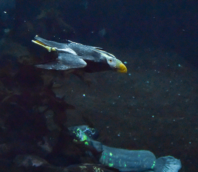 """Puffin below the surface - """"A jet plane"""""""