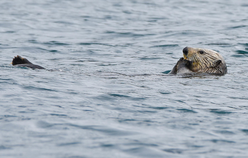 SEA OTTER  (From a Kayak)