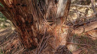 Eukaliptus zrzucajacy kore wiosna