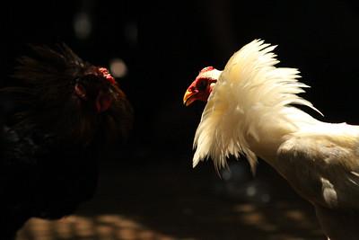Lovina - Cock Fighting