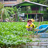 Woman collecting water hyacinth