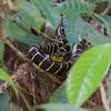 Yellow ring cat snake