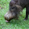 Bearded pig, check out the snout