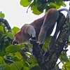 Long tailed proboscis monkey, leaf eater, alpha male