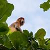 Long tailed proboscis monkey, leaf eater, female