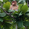 Long tailed proboscis monkey, leaf eater