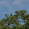 Oriental Pieeddy Pipe Hornbill