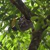 Lemur, mother & child