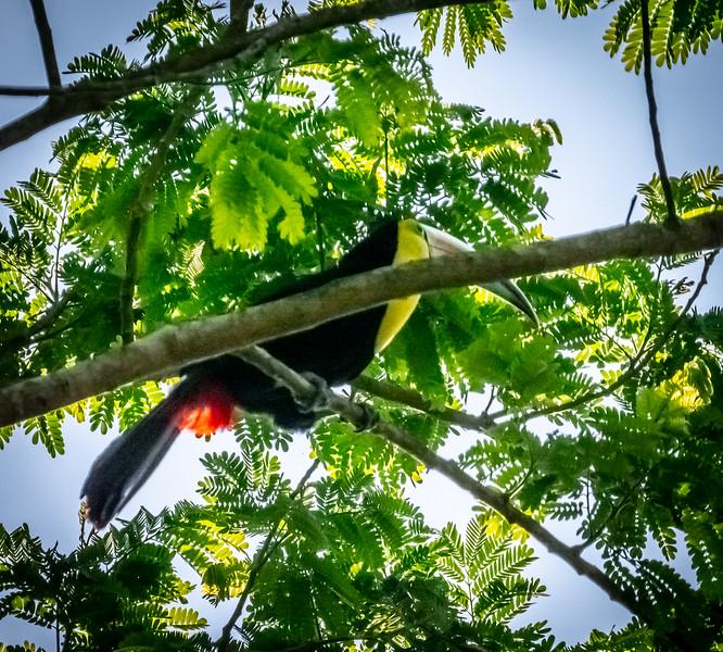 87 - Keel-billed Toucan - Almost hidden
