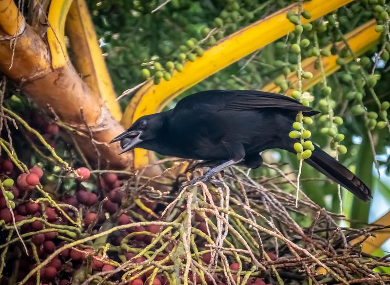 82 - Melodius Blackbird Gathering Berries