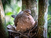 86 - Common Ground Dove - Sitting on nest