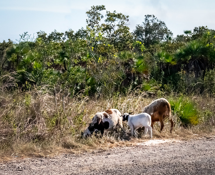 5 - Goats by the side of the road