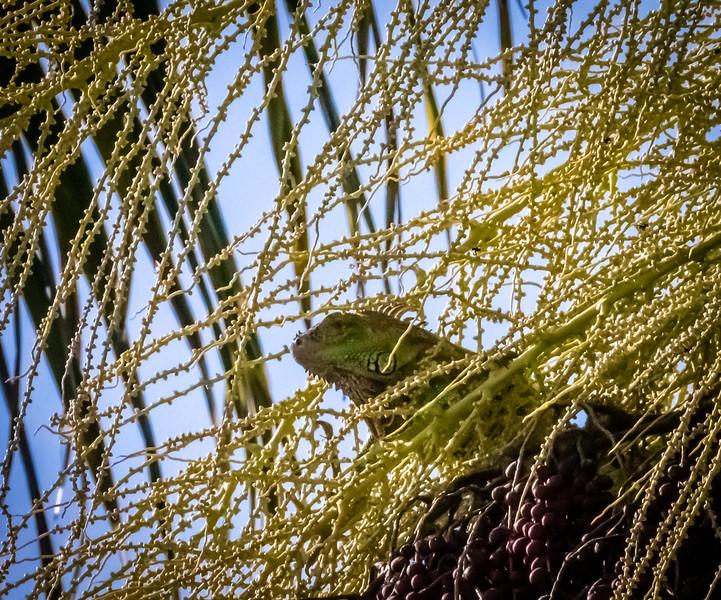 88 - Iguana peeking out of tree