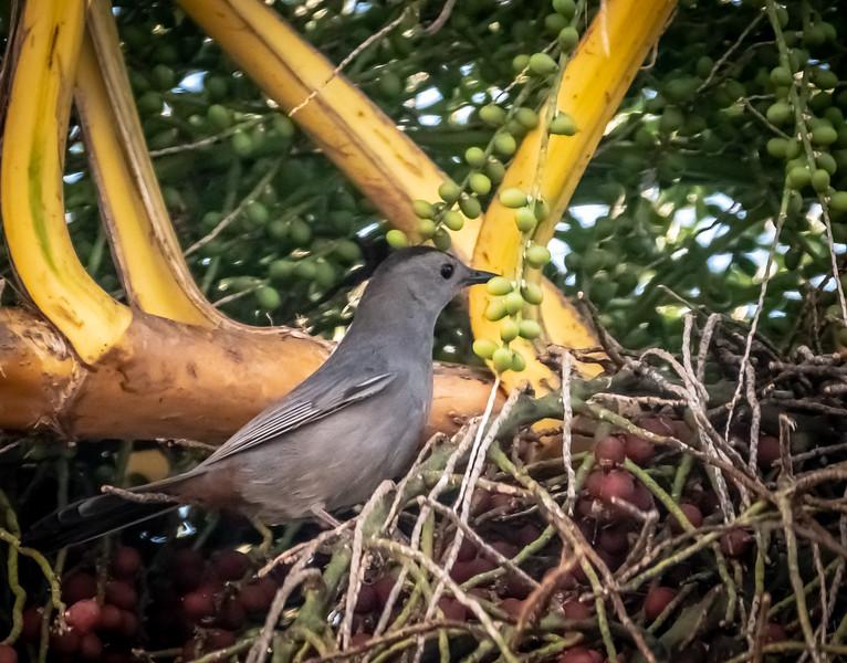85 - Black-crowned Antshrike