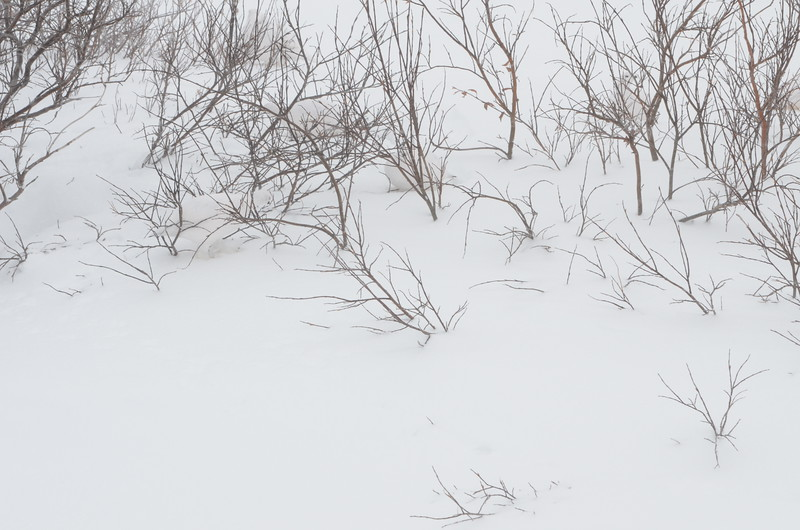 CAN YOU FIND THE FOUR PTARMIGAN ??  (Birds)