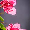 105 - More flowers - Santorini
