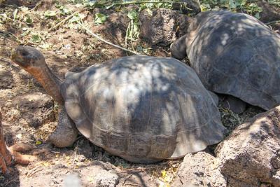 Turtles in El Chato Tortoise Reserve