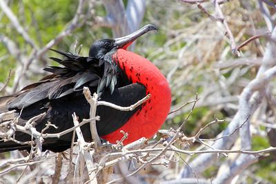 The Great Frigate Bird