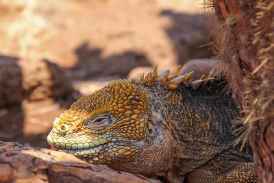 Close-up of a Galapagos Land Iguana