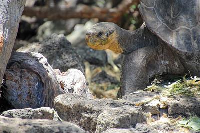 Turtle in the El Chato Tortoise Reserve