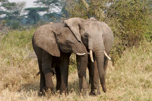 Elephants, Serengeti Park, Tanzania