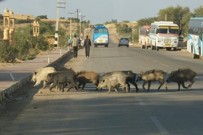 More like javelina than feral pigs...wandering the streets