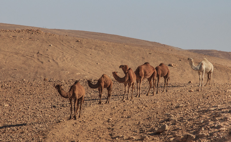 159 - Camels coming into a Bedouins camp