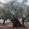 125 - Site near Garden of Gethsemene where Judas hung himself following his betrayal of Jesus