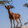 026 -  Ibex, kind of like a deer but can climb trees - and cars