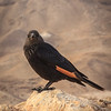 027 - a type of starling - black with red wings